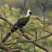 White-crested Turaco - Kerio Valley - Kenya CD5A7332