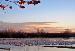 Goose Gathering (Patricia Henschen) Tags: bosquedelapache nationalwildliferefuge nwr geese snow rosss goose sunrise wetland water reflection cloud clouds winter bosque national wildlife refuge socorro newmexico sanantonio
