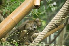 best choice (nicotr) Tags: 20190126 hapalemur lemur serretropicale zoo