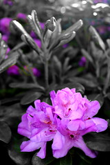 IMG_1716a (Talisman Pickering) Tags: flower selectivecolor colorsplash purple