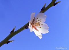 Un regalo para ti (kirru11) Tags: flordelalmendro rama cielo quel larioja españa kirru11 anaechebarria panasonicdmcfx7