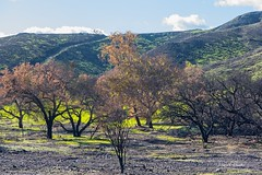 In recovery mode (Photosuze) Tags: landscape california fire aftermath triunfocanyon recovering new vegetation oaks trees charred burned sky clouds