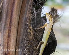 My Talent (KIMI KANTA) Tags: animals lizard climbing runaway planet coconuttree daylight model talent macro macrophotography macrolens closeup depthoffield bokeh canon canonlens canondslr welovecanon delightingyoualways kimikantaphotography photooftheday photographyisfun worldofphotography