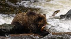 Natural selection (FireDevilPhoto) Tags: grizzlybearbrownsalmonfishfishingriverspawningcatchcatchingnaturewildlifeactionvancouvercanada knight inlet