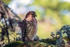 Hawk 1 (Wisconsin Fox) Tags: sanfrancisco hawk nikon d850 lightroom photoshop goldengatepark nature wildlife birds