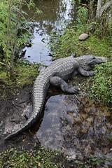 DSC6820 (Starcadet) Tags: orlando alligator krokodil gator gatorland florida glades sumpf zoo hunger tiere fressen nilkrokodil aufzuchtstation