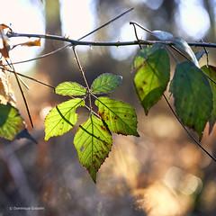Illumination (domingo4640) Tags: bokeh contrejour loxia loxia85 loxia2485 lumiere vegetal ronce
