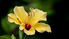 Hibisco Amarelo (Rogerio1958) Tags: flores flor flowers botão amarela hibisco hibiscus yellow natureza nature canon t6 80200mm vilaprudente são paulo