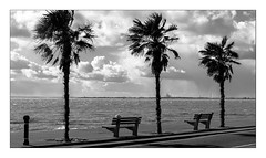 Three palms, two seats and a post (exreuterman) Tags: westcliff southend canon legacy ef 85mm trees sea seaside prom promenade thames river bw mono monochrome nik silverefexpro