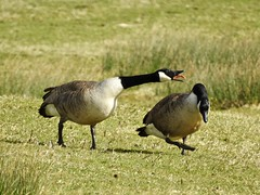 Canada geese (LouisaHocking) Tags: wild wildlife nature southwales creature bird british wales geese canadageese goose