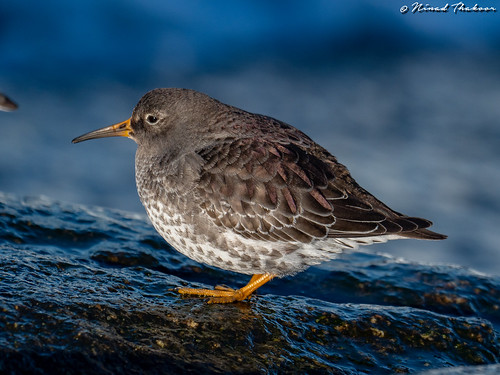 """Purple Sandpiper (Lifer) • <a style=""""font-size:0.8em;"""" href=""""http://www.flickr.com/photos/59465790@N04/46493908241/"""" target=""""_blank"""">View on Flickr</a>"""