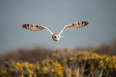 D85_7155 (WildKernow) Tags: see shortearedowl cornwall newquay uk owl