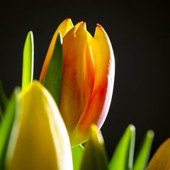 Tulips shining in the light 💐☀️ (Martin Bärtges) Tags: blitz flash studio inside frühjahr frühling spring natur nature naturephotography naturfotografie blossoms blumen blüten flowers nikonphotography nikonfotografie d7000 nikon grün green red rot gelb orange farbtupfer farbenfroh tulpe colorful tulips