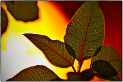 The soul has the color of your thoughts. (ahmBerlin) Tags: color leaf farbe blatt plant pflanze boost hintergrundlicht backgroundlight poinsettia weihnachtsstern