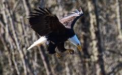 Bald Eagle (foto tuerco) Tags: bald eagle oregon