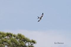 swallow tailed kite (wandering tattler) Tags: kite swallow swallowtailed swallowtailedkite sky tree flying flight florida 2019