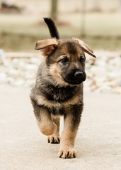 2019-03-02, Mel x Dezi Pink Female-4 (Falon167) Tags: gsd germanshepherddog german shepherd dog puppy mel dezi melxdezi litter bessie puppies