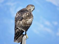 Perched (Patricia Henschen) Tags: bird birdofprey raptor hawk redtailedhawk buteo alamosa colorado roadside rural countryside