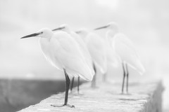 0942 White Birds (Hrvoje Simich - gaZZda) Tags: animals birds white highkey india travel nikon nikond750 sigma150500563 gazzda hrvojesimich