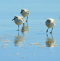 Sanderlings on the beach (Ruby 2417) Tags: sanderling peep sandpiper bird wildlife nature goleta beach water reflection coast