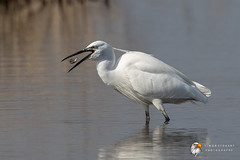 Little Egret (Simon Stobart - Back With Loads To Edit) Tags: little egret egretta garzetta fish catch eating water north east england uk