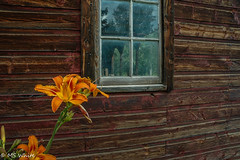 Beauty in the young and the old & weathered. (SpyderMarley) Tags: pegggardenandhomestead alberta prairies historic site orangedaylily weatheredwood glenevis georgepegg nikond70