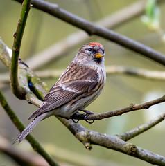 Lesser Redpoll (wryneck94) Tags: newforest hampshire birdwatching blashfordhwtreserve