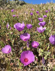 Eremalche parryi ssp. parryi, Parry's Mallow (Dee Shea Himes Photography) Tags: eremalche parryi ssp california native plants monocline monvero dune