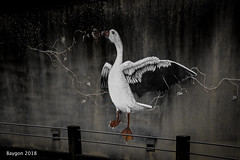 The flight (ericbaygon) Tags: duck canard flight envol mur wall nikon d750 oie goose ailes wings graffiti peinture dessin