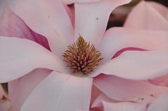 The core (wilma HW61) Tags: magnolia bloemas flowershaft bloemenhart floralheart bloem flower fleur flor flora floral floreale natuur nature natur naturaleza macro closeup kern core μαγνολία symmetrie symmetry nederland niederlande netherlands nikond90 voorjaar lente spring primavera printemps frühling blume holland holanda paysbas paesibassi paísesbajos europa europe