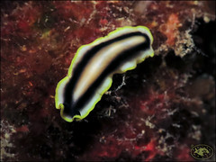 Flatworm (Pseudoceros paralaticlavus) (Brian Mayes) Tags: 2033 smithspoint flyingfishcove christmasisland australia flatworm pseudocerosparalaticlavus underwater scuba diving canon g16 canong16 brianmayes