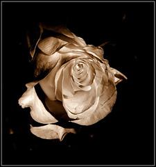 Róża. (andrzejskałuba) Tags: poland polska pieszyce dolnyśląsk silesia sudety europe plant panasonicdmcfz200 lumix roślina kwiat flower flora floral sepia beautiful natura nature natural natureshot natureworld róża rose macro cień shadow 100v10f 1000v40f 1500v60f