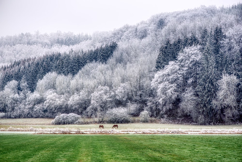 Two horses in the frost