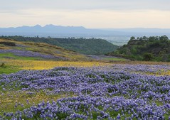 Table Mountain, Oroville, is having its spring bloom! (Ruby 2417) Tags: oroville california spring superbloom table mountain volcanic bloom wildflowers flowers sutter buttes