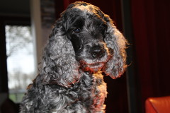 Little  Confidential (excellentzebu1050) Tags: closeup cocker cockerspaniel dog doggy farmdog indoors spaniel pet animal animalportraits coth coth5 sunrays5