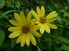 Perennial Sunflower (jmunt) Tags: sunflower flower gardenflower garden