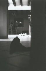(Yosushie) Tags: canon canonal1 blackandwhite bw noiretblanc analog film cats inside 50mm dark darkness light