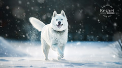 Picture of the Day (Keshet Kennels & Rescue) Tags: adoption dog ottawa ontario canada keshet large breed dogs animal animals pet pets field nature photography winter snow snowfall snowflake white siberian husky huskies blue eyes smile trot