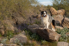12/52 Desert Hike (Jasper's Human) Tags: 52weeksfordogs aussie australianshepherd dog desert