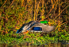 nature (pstrock1) Tags: wings fly nature bird mallard marsh sky morning male jump wildlife goldenhour wild duck water beauty field
