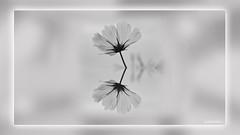 4 Reflectflower (andantheandanthe) Tags: creative creativity closeup close up macro trix photoshop adobe kreativ kreativitet närbild makro kreativer herauf makrotix créativité créative gros plan fine creativa del primo piano di creatività sulla creatividad primer plano snow snö flower mirror