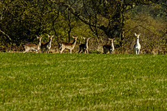 Fallow Does Young & Old (ianbartlett) Tags: outdoor 365 nature wildlife landscapes monochrome cars pylons waterfalls deer lambs insects flowers trees bridges streams ponds orchids bluebells boathouse