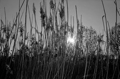 Spring in the reed No2 (cotnari73) Tags: kentmere100 d76 mju2