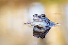 Blauer Junge (marcus.fehde) Tags: naturfotografie makrofotografie frosch moorfrosch rana moor