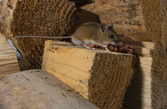 Field Mouse in woodpile (tobyhoulton) Tags: field mouse wildlife nature rodent woodpile food feeding nikon d7200 toby houlton