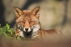 Red Fox (jamiemcd17) Tags: fox mammal wild wildlife nature urban urbanwildlife nikon fur ears red