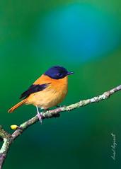 Black-and-orange flycatcher Male (EXPLORE) 18-02-2019 (Arvind Manjunath) Tags: endemicbirds birds coonoor arvindmanjunath motofotog