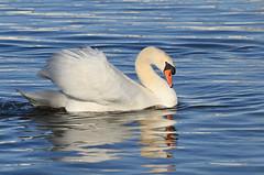 Cygne tuberculé - Cygnus olor (Fabrice Cadillon) Tags: cygnusolor cygnetuberculé cygne oiseau bird nikon 2019 nature wildlife
