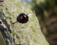 Chilocorus renipustulatus (rockwolf) Tags: chilocorusrenipustulatus kidneyspot ladybird coccinellidae coccinelle coccinelledessaules beetle coleoptera insect abbeywood shropshire rockwolf
