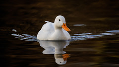White duck (1/2) (Franck Zumella) Tags: white duck canard blanc bird oiseau nature animal wildlife lake lac water eau orange sunset coucher soleil sun color couleur reflection reflexion cute mignon golden hour toy winter hiver alone seul lonely unique night nuit wave vague light lumiere